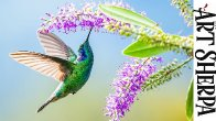 Humming Bird Easy How to Paint Watercolor Step by step | The Art Sherpa