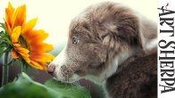 BORDER COLLIE PUPPY WITH SUNFLOWER Beginners Acrylic Tutorial Step by Step BAQ2021 🔴LIVE STREAMING