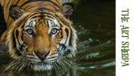 How to paint with Acrylic on Canvas of a Swimming Bengal Tiger