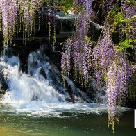 wysteria and fall