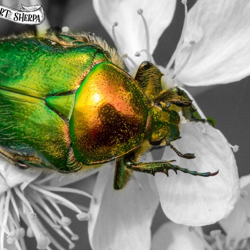 9x12 metallic beetle