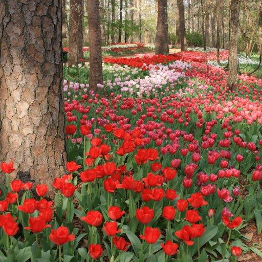 Garvan Gardens - Red & Pink Tulips