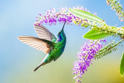 humming bird lilacs .jpg